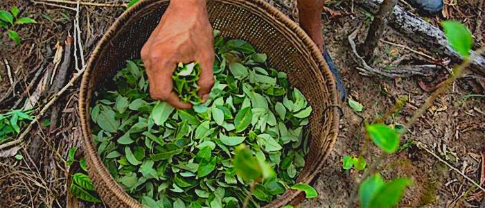 Estados Unidos calcula récord en producción de coca en Colombia